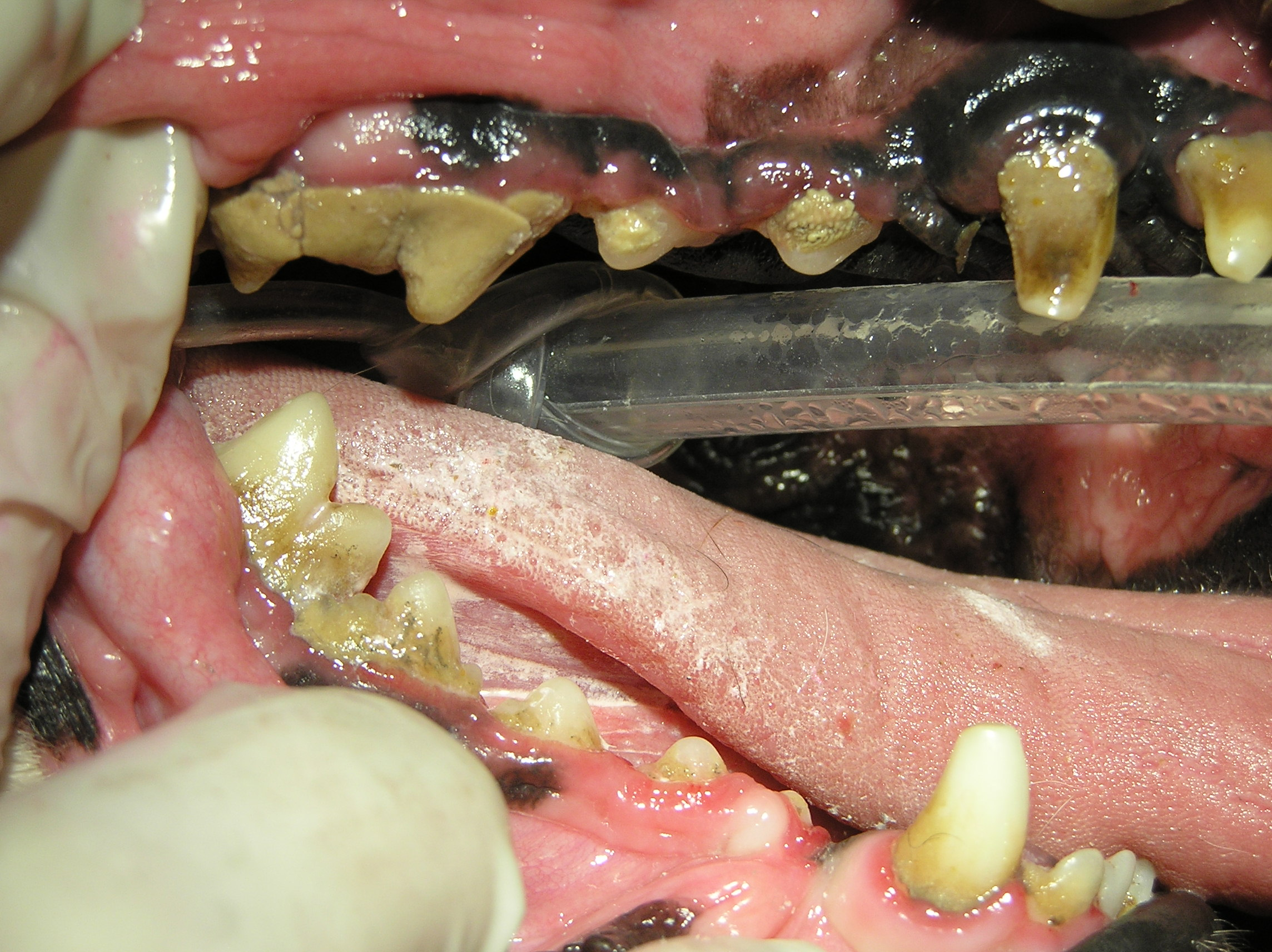 Dogs Mouth Has Black On Gums